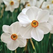 Pheasants Eye Daffodil - Pack of 10