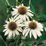 White Swan Purple Coneflower Seeds