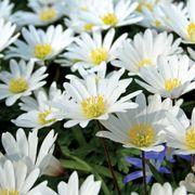 Anemone White Splendor - Pack of 20 Alternate Image 2