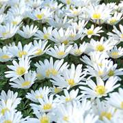 Anemone White Splendor - Pack of 20 image