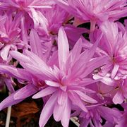 Colchicum 'Waterlily' image