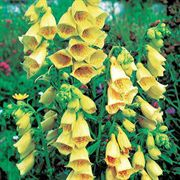 Yellow Foxglove Seeds