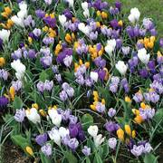 Crocus Large-Flowered Economy Mix