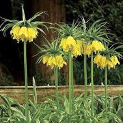 Yellow Crown Imperial - Pack of 3