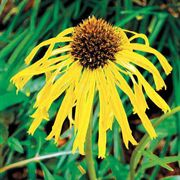 Echinacea paradoxa Yellow Coneflower Seeds