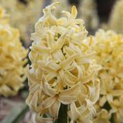 Hyacinth City of Haarlem - Pack of 5