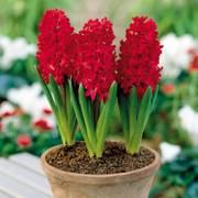Hyacinth Jan Bos - Pack of 5