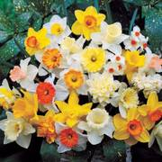 Daffodil Parks Top of the Line Mix