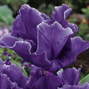 Blue Parrot Tulip - Pack of 10