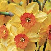 Ambergate Daffodil - Pack of 5