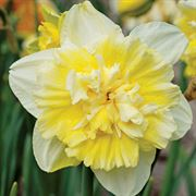 Ice King Daffodil Bulb - Pack of 10