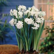 Paperwhites - Pack of 5