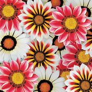 Daybreak Petticoat Mix Gazania Flower Seeds