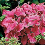 Caladium 'Sweetheart' image