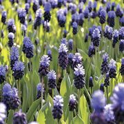 Muscari latifolium - Pack of 10