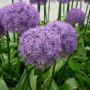 'Globemaster' Allium Alternate Image 1