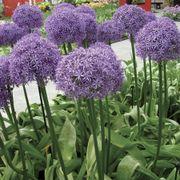 'Globemaster' Allium Alternate Image 2