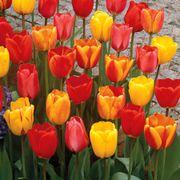Tulip Darwin Hybrid Mix Alternate Image 1