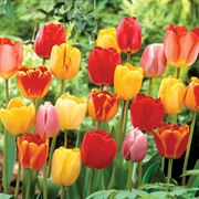 Darwin Hybrid Tulip Mix - Pack of 20