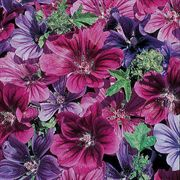 Mystic Merlin Blue-Purple Mallow Hollyhock Seeds