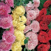 Summer Carnival Hollyhock Mix Seeds