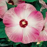 Disco Belle Pink Rose Mallow Seeds