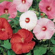 Disco Belle Mix Rose Mallow Seeds