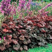 Palace Purple Heuchera Seeds