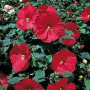 Disco Belle Rosy Red Rose Mallow Seeds