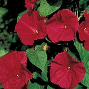 Scarlet OHara Morning Glory Seeds