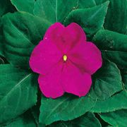 Accent Hybrid Burgundy Impatiens Flower Seeds