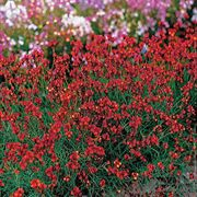 Flaming Passion Linaria Flower Seeds