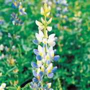 Sunrise Lupine Flower Seeds