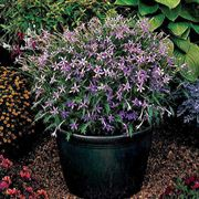 Avant-Garde Blue™ Laurentia Blue Star Seeds