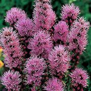 Floristan Violet Blazing Star Flower Seeds