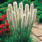 Floristan White Blazing Star Flower Seeds