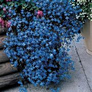Fountain Blue Lobelia Flower Seeds