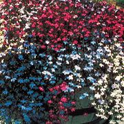 Fountain Mix Lobelia Flower Seeds