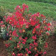 Little Chief Red Crape Myrtlette Seeds