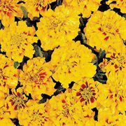 Aurora Yellow Fire Marigold Seeds