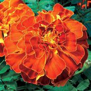 Zenith Red Marigold Seeds
