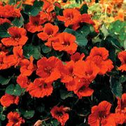 Princess of India Nasturtium Seeds