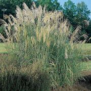New Hybrid Eulalia Fountain Grass Seeds