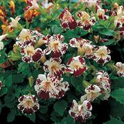 Magic White Blotch Hybrid Monkey Flower Seeds