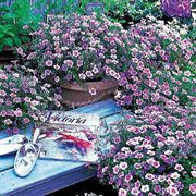 Blue Mountain Nierembergia Flower Seeds