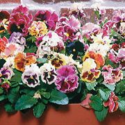 Bolero Mix Pansy Seeds