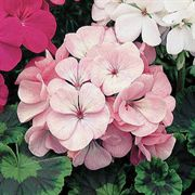 Orbit Appleblossom Geranium Seeds