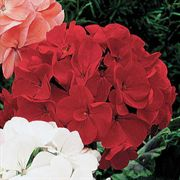 Orbit Red Geranium Seeds