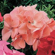 Orbit Deep Salmon Geranium Seeds