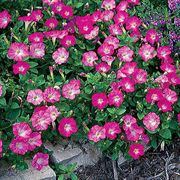 Rosy Dawn Wave Hybrid Petunia Seeds